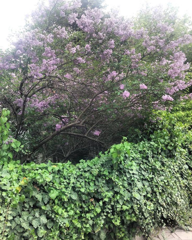 Bahçeler icin oldukça uygun leylaklar harika kokularına ve göz alıcı renklerine rağmen kısa bir süre çiçekli kalıyorlar ama yeşili bile güzel�� #leylak #syringavulgaris #pink #lila #violett #tree #garden #design #green #bahçe #tasarım #vsco #vscocam #shooting #photo #landscape #architecture http://turkrazzi.com/ipost/1524734232667577322/?code=BUo8bTLB1vq
