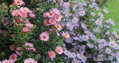 Zvjezdani (Asteri) - jesenski raj za oči i pčele