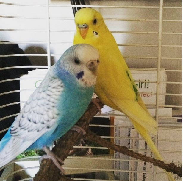 Are birds better suited for your lifestyle? Meet Lemon and Rio! They are a bit shy at first but are quick to warm up. Available for adoption now ❤️ #iwarsadoptables #infinitewoofs #adoptdontshop #yegrescue #yeg #edmonton #780
