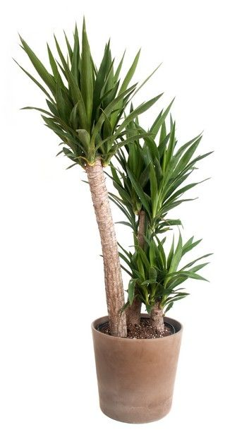 Yucca Houseplant Care: Tips For Growing Yucca In Containers / Gardening Know How