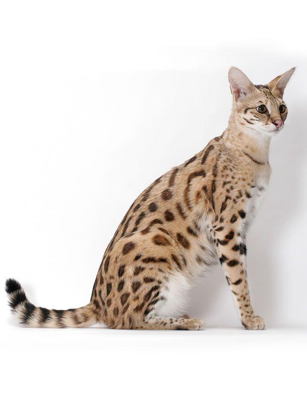 le plus grand : le savannah Haut sur pattes, avec une fourrure tachetée, ce chat-là tient du félin sauvage ! Normal, quand on sait que la race est née, en 1996, à la suite de croisements entre des chats domestiques et des servals, ces petits félins africains d'environ 15 kg. Malgré son exceptionnelle vitalité, le savannah a hérité d'un caractère très doux.