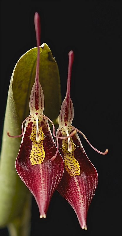 Restrepia contorta orchid | From Venezuela, Colombia, Peru and Ecuador in cloud forests as a small sized