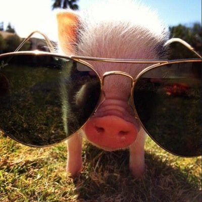 Teacup Pig (@TeaCupCuteness) | Twitter