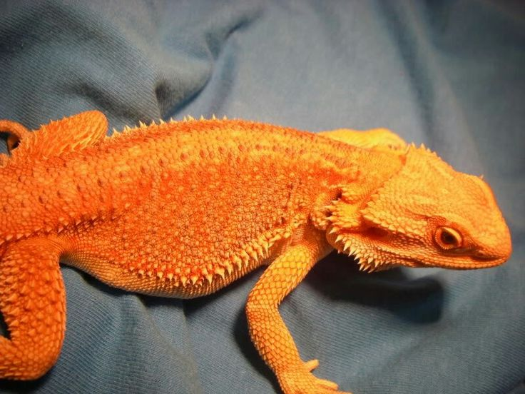 Orange/red German giant/ het hypo X blood male bearded dragon produced by me!