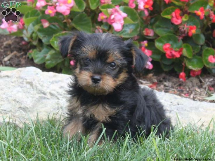 yorkie poo puppies for sale in pa 1000 ideas about yorkie poo for sale on pinterest 7482