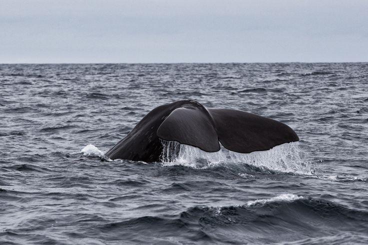 Sperm Whale, Norway, Lofoten