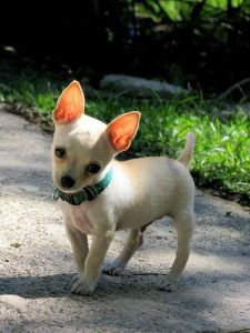 Blue Teacup Chihuahua | white teacup chihuahua teacup capabilities include injection ...