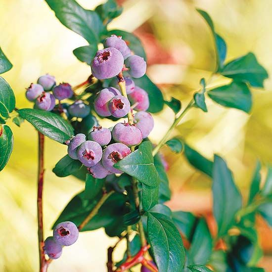 Highbush Blueberry / Vaccinum corymbosum... dense shrub /6-12' tall eatible berries/ Bluebirds & robins love it / good eye appeal... bright orange fall color.  Sun or part shae... well drained acidic soil.