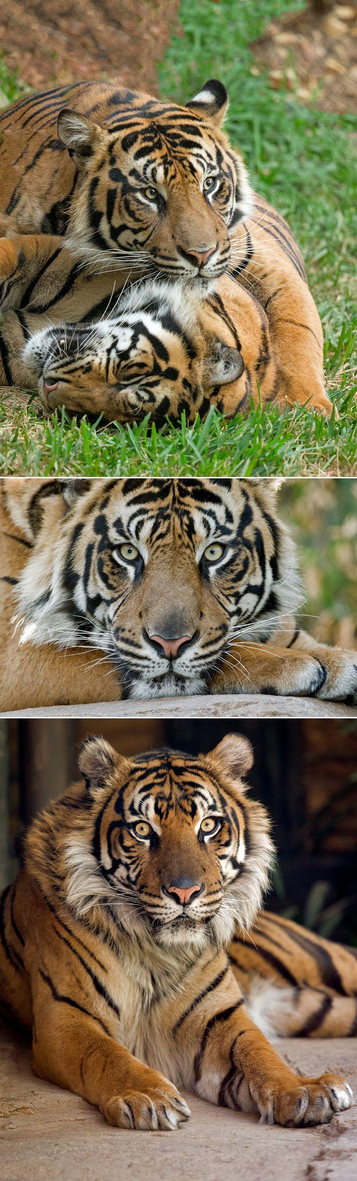 #Tiger guys by Darrell Ybarrondo