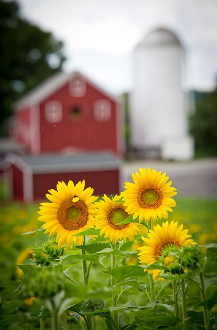 Sunflowers and a red barn and full silo...perfect !