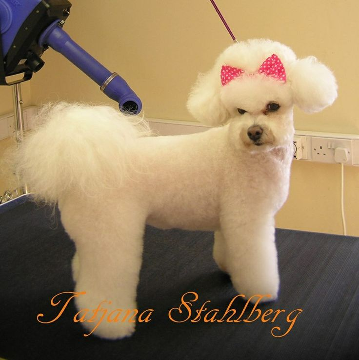 17 Best Images About Bichon Grooming Hairstyles On