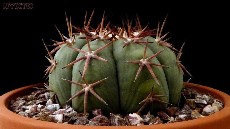 Echinocactus horizonthalonius v. moelleri 1 | by Nyxtofulakas