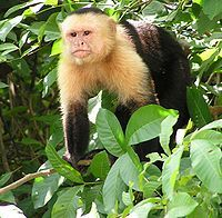 Capuchin Monkeys are native to South America.  They are intelligent and learn quickly.  They are not very good as pets, and owners often receive severe bites.