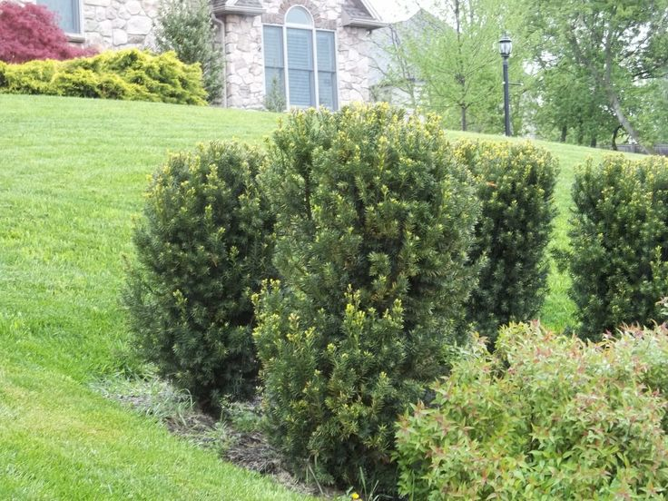 Hicks yew embankment plants pinterest shrub topiary for Plants for walkway landscaping ideas