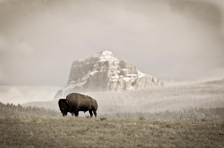 buffalo standing on hill chief mountain background waterton glacier international piece park  Copyright:© Tony Bynum