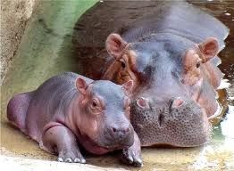 Mother Hippo with her Baby. Hippos spend most of the day floating in rivers and lakes.They can stay underwater for up to 30 minutes. Read more fun facts about Hippos here: http://easyscienceforkids.com/all-about-hippos/
