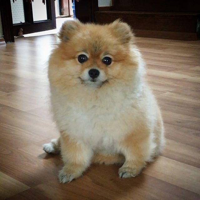 #mulpix Good morning friends..️ im still sleepy ..bring my coffee, mom ️ // gunaydin arkadaslar.. ️..Kahvem lutfen ️ #pet #pom #puppy #pomeranian #pomeranians #dog #dogs #dogsofinstagram #instadog #instagood #instagram #ilovemydog #cute #animals