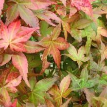 Acer palmatum Chishio Improved