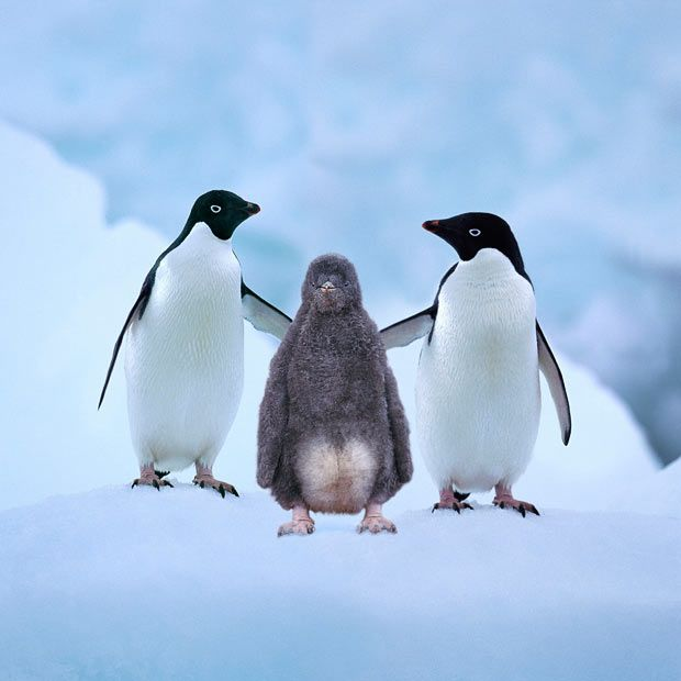 'Adelie penguins with chick on Paulet Island, Antarctica' by Steve Bloom.