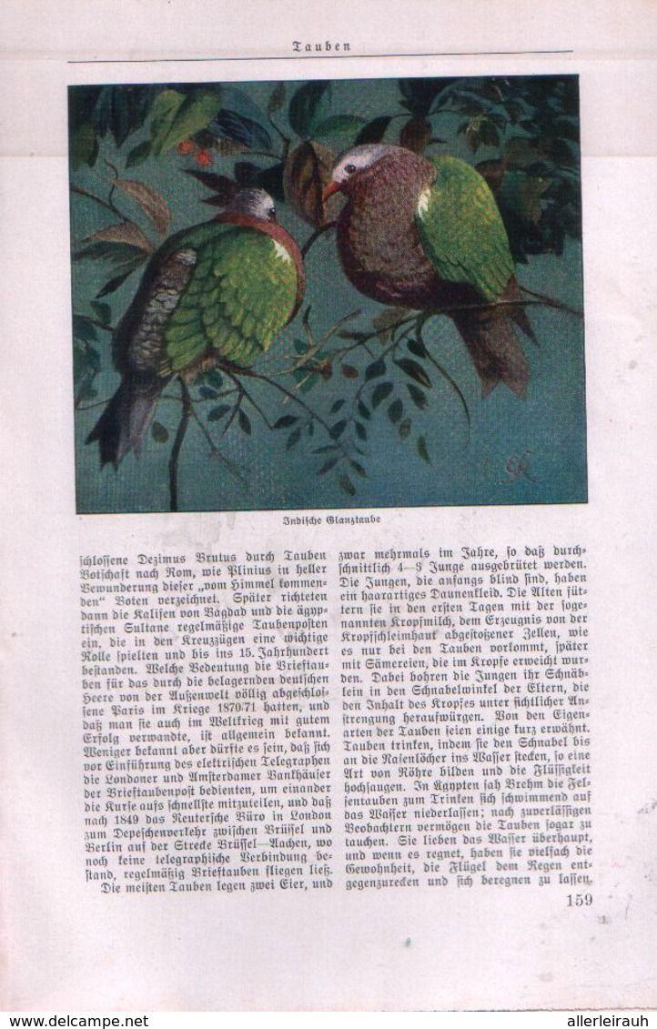 Tauben Von Dr Adolf Heilborn Artikel Entnommen Aus Zeitschrift 1931 Zu Verkaufen Auf Delcampe Zeitschriften Comic Bucher