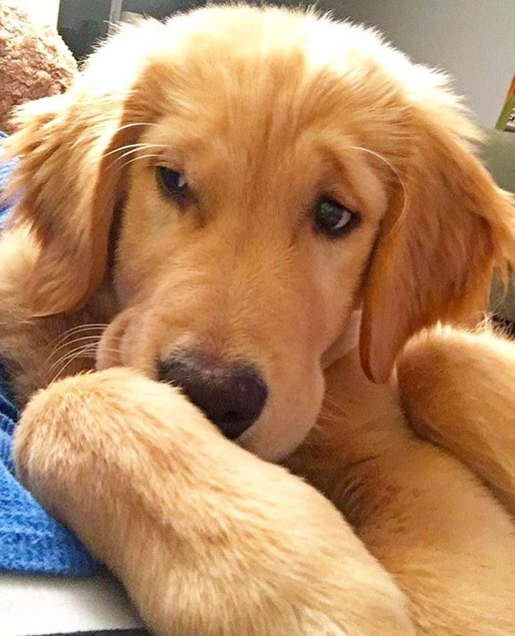 Best Golden Retriever Images On Pinterest Puppies Caramel - Golden retriever obedience competition fail