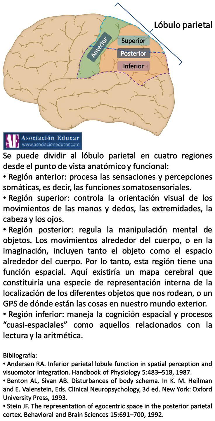 Infografía Neurociencias: Lóbulo parietal | Asociación Educar