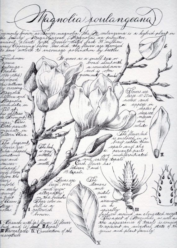 Check out this item in my Etsy shop https://www.etsy.com/uk/listing/520214125/botanical-illustrations-magnolia