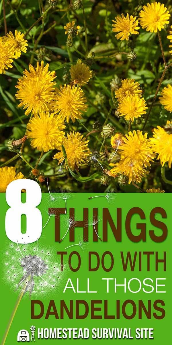 Did You Know That Dandelions Have Many Benefits And Uses For One Thing Every Part Of The Dandelion Is Edible Fro Dandelion Benefits Homestead Survival Herbs