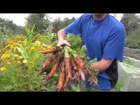 Свежие древесные опилки׃ на грядке моркови (2015) - YouTube