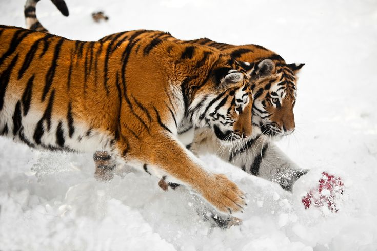 2 headed tiger | by fPat
