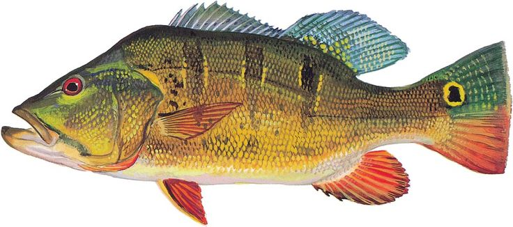 17 best images about peacock bass on pinterest peacocks for Peacock bass fishing florida