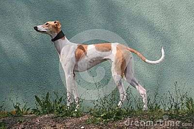 Download Hungarian Greyhound Royalty Free Stock Photo for free or as low as 46.22 Ft. New users enjoy 60% OFF. 22,664,591 high-resolution stock photos and vector illustrations. Image: 39435255