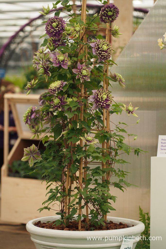 RHS Chelsea Flower Show Plant of the Year 2017 - Pumpkin Beth