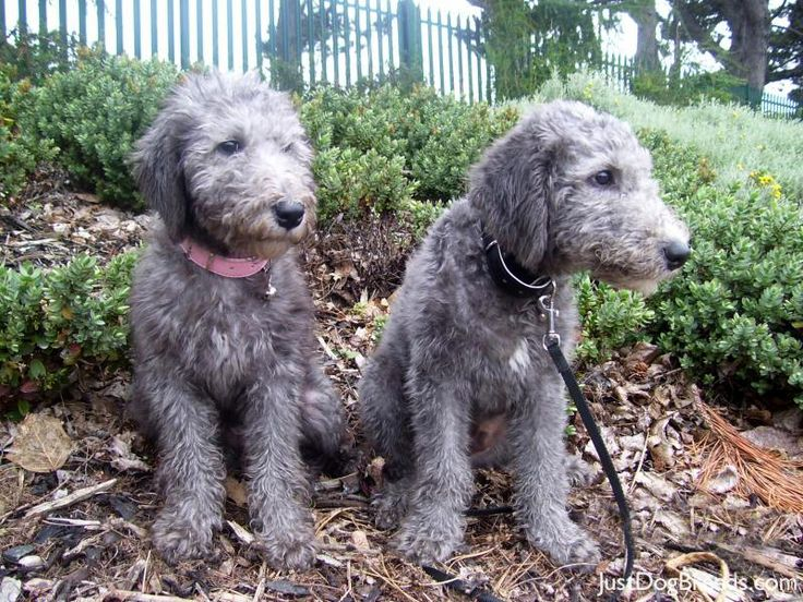 Bedlington Terrier brother and sister, Millie and Rex.
