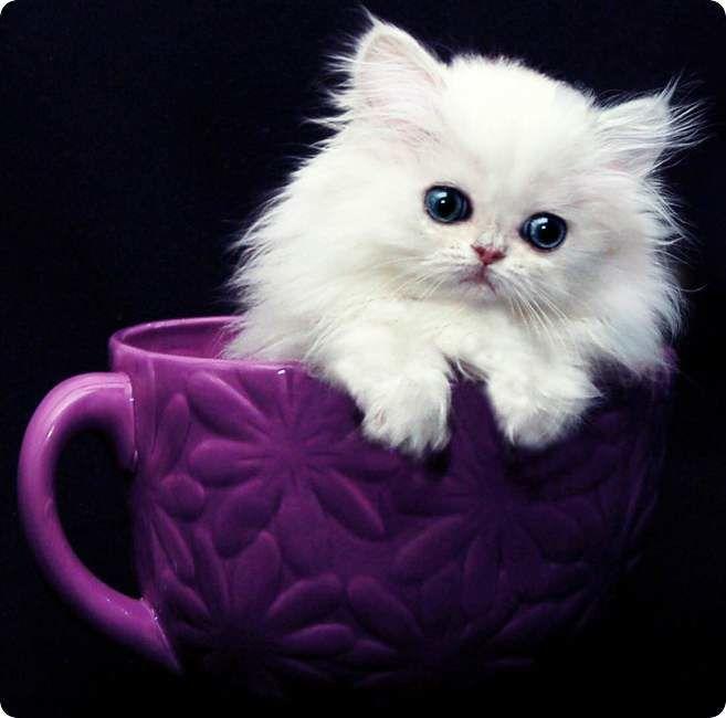 chaton persan blanc mignon dans tasse violette