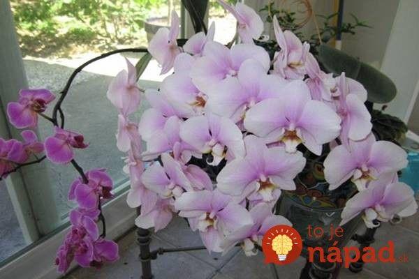 Jedna rastlina môže mať aj 20 kvetov: Vyskúšajte tajnú fintu dlhoročnej pestovateľky!