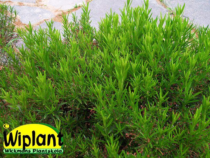Euonymus nanus var. turkestanicus, dvärgbenved. Gröna smala blad som blir bronsfärgade till vintern, bärliknande blommor. Vid beskärning på våren får man en stadigare växt, annars slingrande marktäckande grenar. 0,5 m hög.