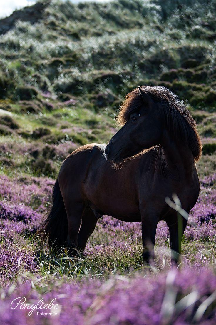 Isländer Rappe im blühenden Feld. #pferdefotografie #horsephotography