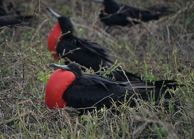 Frigate Birds, Galapagos Islands by Derek Keats, via Flickr