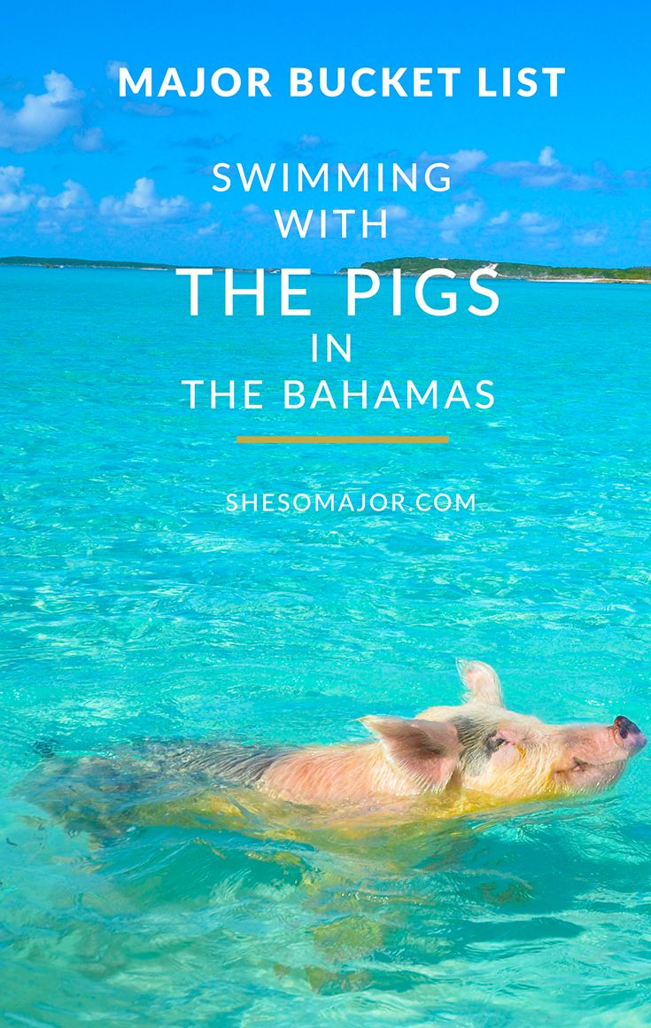 best 25 swimming pigs ideas on pinterest pig beach pig island