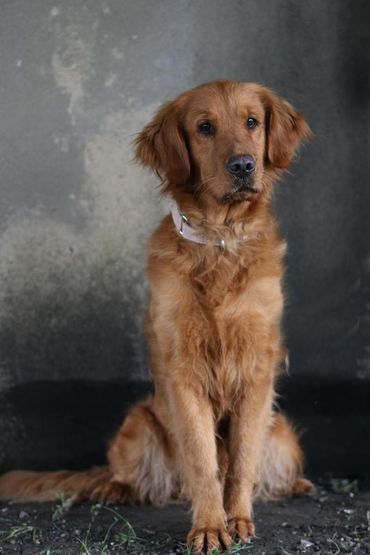 Elinor is an adoptable Golden Retriever searching for a forever family near New Orleans, LA. Use Petfinder to find adoptable pets in your area.
