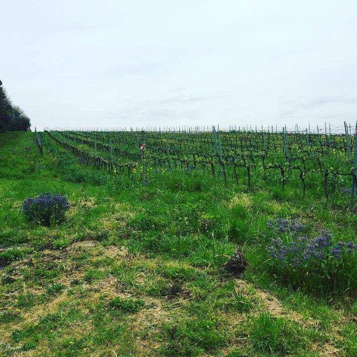 @fattoriasardi #germogliamento #budbreak2016 #madonninadelluva #vigna #bio #organic #vineyard #FattoriaSardiSebastiano #supertuscan #collinelucchesi #lucca #luccabiodinamica #toscana