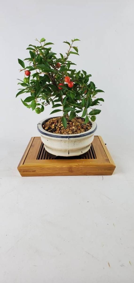 Live Bonsai Barbados Cherry Tree Blossom Pink Flower Fruit Tree Miniature Cherries Edible In A 7 Bo Barbados Blossom Bo Fruit Trees Bonsai Pots Pink Flowers