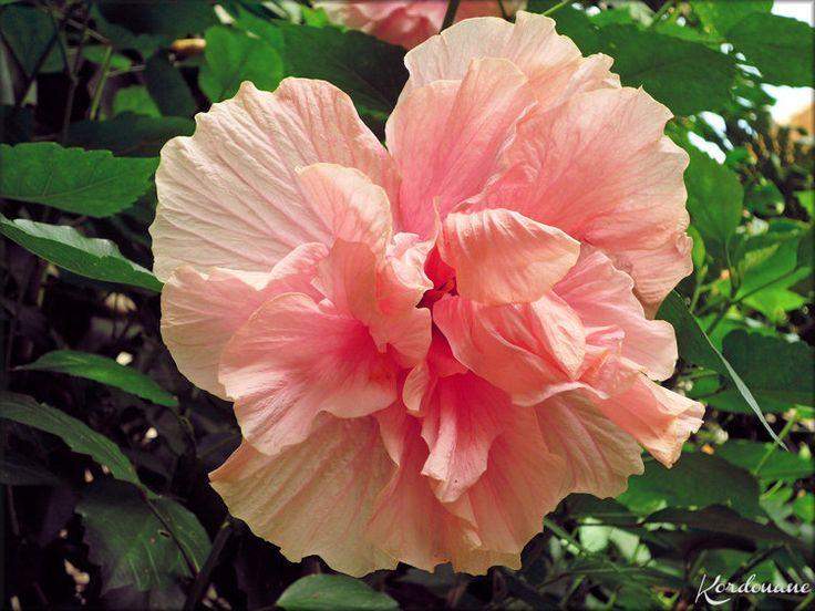 1000 id es sur le th me fleurs d 39 hibiscus sur pinterest hibiscus fleurs en papier cr pon et. Black Bedroom Furniture Sets. Home Design Ideas