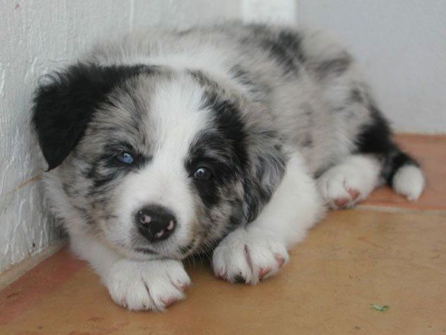 puppy with different colored eyes Heterochromia (1)