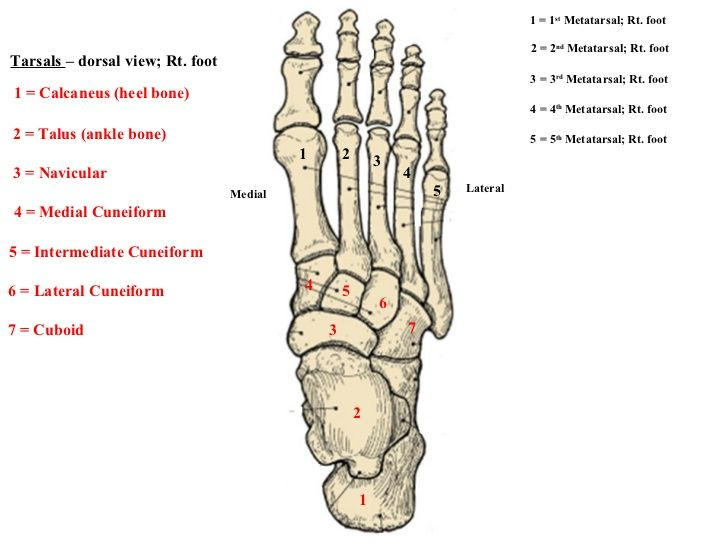 Tarsal bones of the foot- The tarsal bones in the foot are ... Tarsal