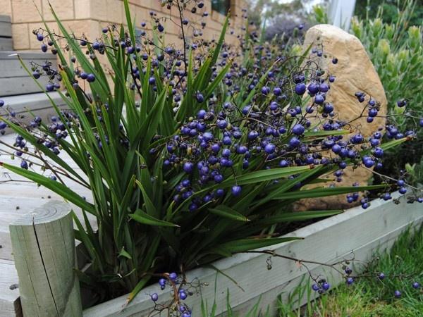Dianella tasmanica- Tasmanian flax lily