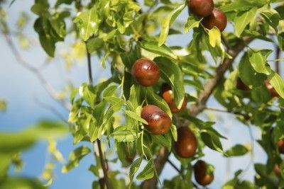 Jujube fruit trees