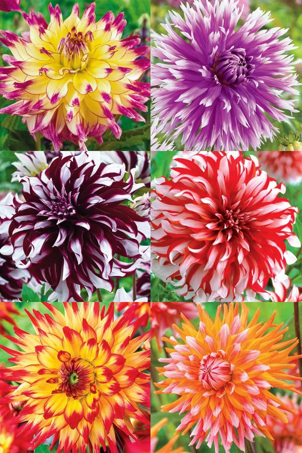 Stunning dahlias that are perfect for any garden or landscape. Breck's strives to help gardeners everywhere achieve their dream garden.