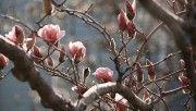hd magnolia tree at spring wallpaper download